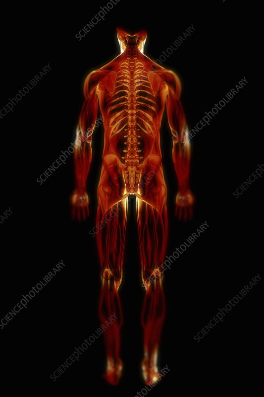 Muscle System, artwork
