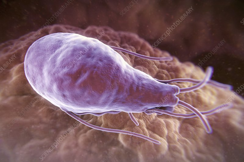 Giardia lamblia Parasite, artwork