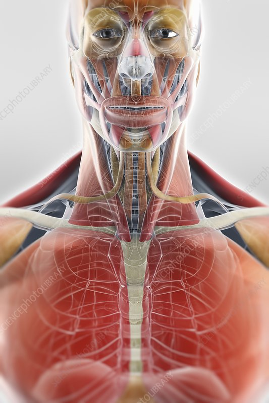Muscle of the Head and Chest, artwork