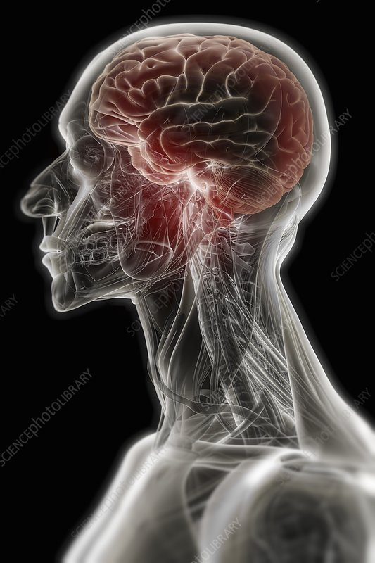 Anatomy of the Head and Brain, artwork