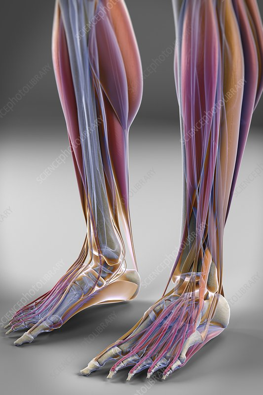 Muscles of the Lower Legs, artwork