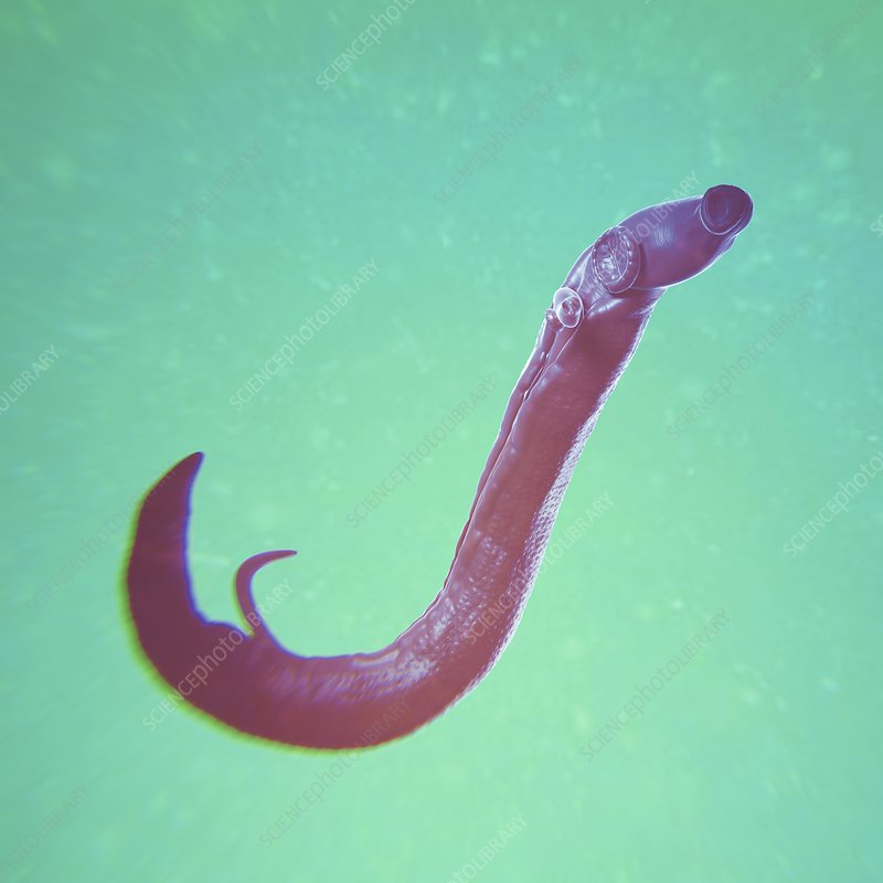 Schistosoma Parasite Worm, artwork