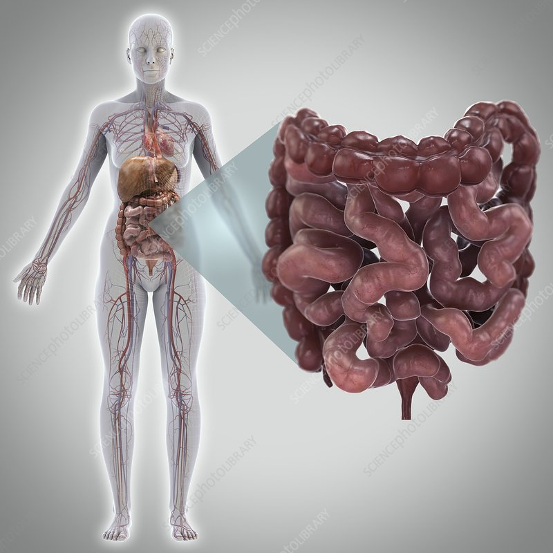 Human Intestines, artwork - Stock Image C020/5290 - Science Photo ...