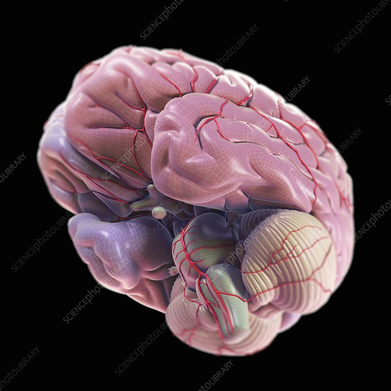 Brain with Blood Supply, artwork