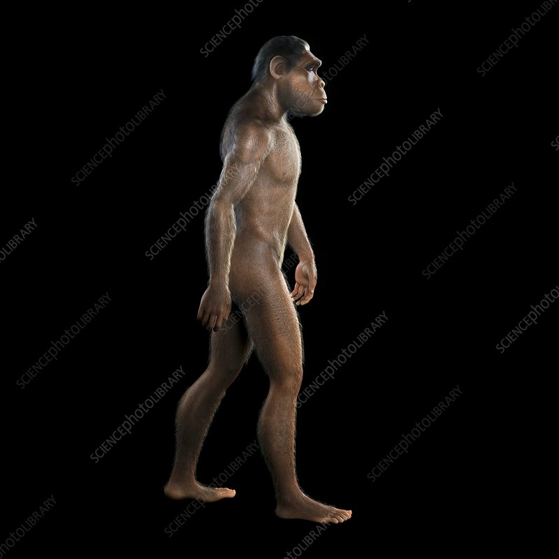 Homo Habilis, artwork