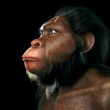 Australopithecus, artwork