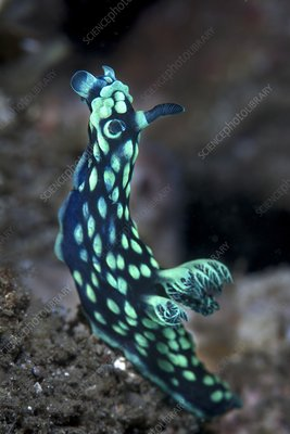 Crested nudibranch