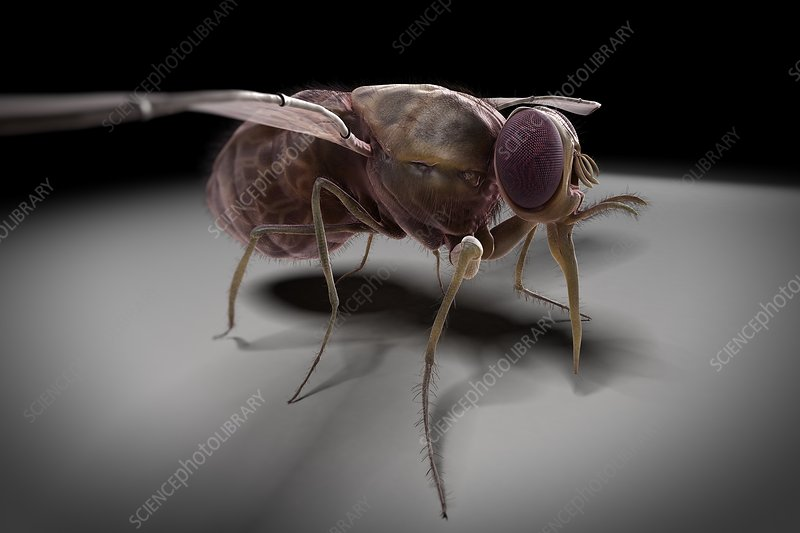Tsetse Fly, artwork