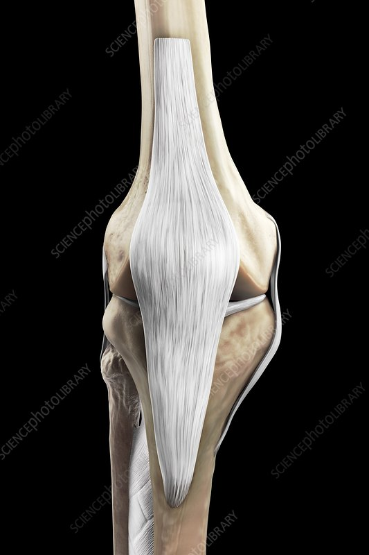 Right Knee Ligaments, artwork