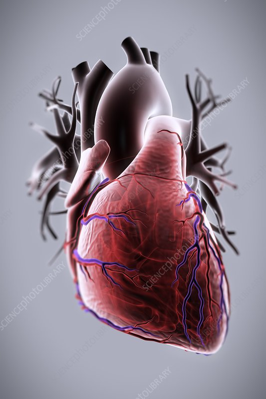 Human Heart, artwork