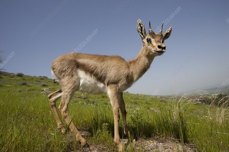 Mountain Gazelle (Gazelle gazelle)