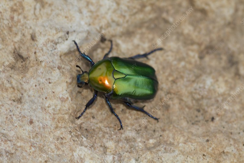 Olivegreen Flower Chafer