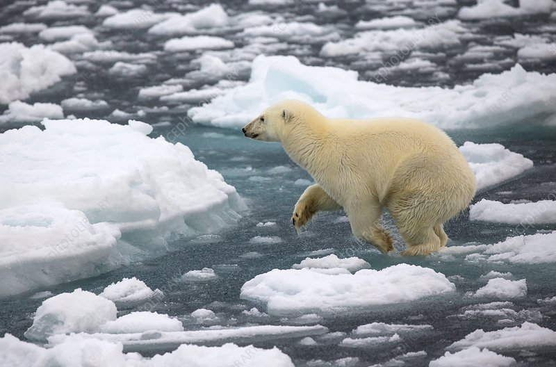 Polar bear jumping across ice floes