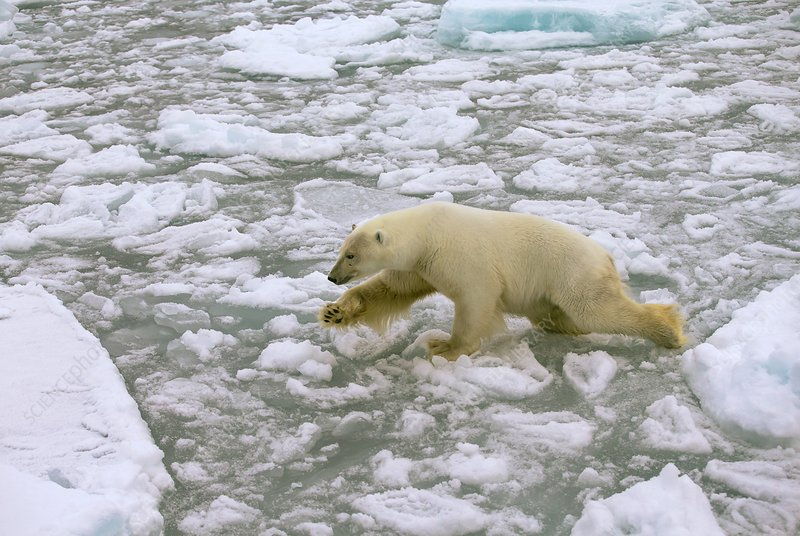 Polar bear crossing ice floes