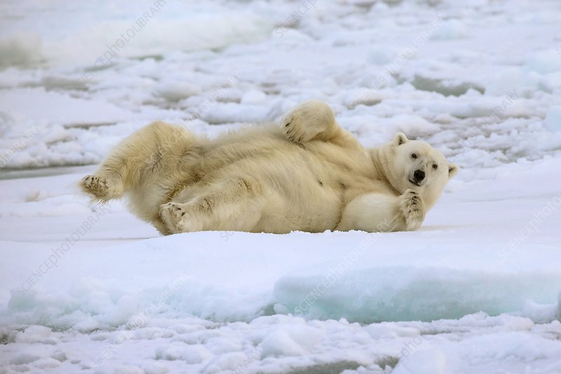 Polar bear rolling on pack ice