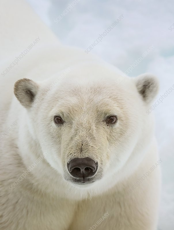 Close up of a polar bears head