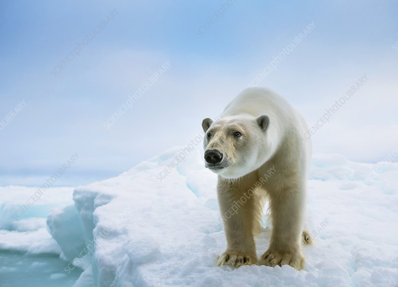 Close up of a standing polar bear