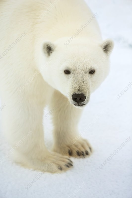 Polar bear standing close up