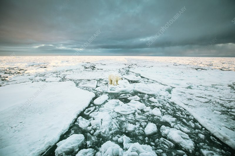 Polar standing on an ice floe