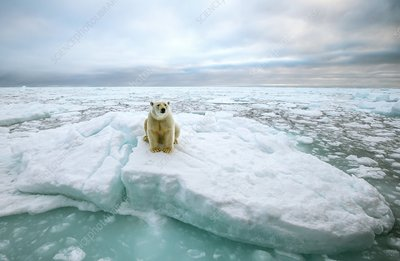 Polar bear sitting on a ice floe