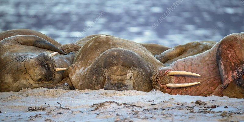 Atlantic walruses resting on sandy beach