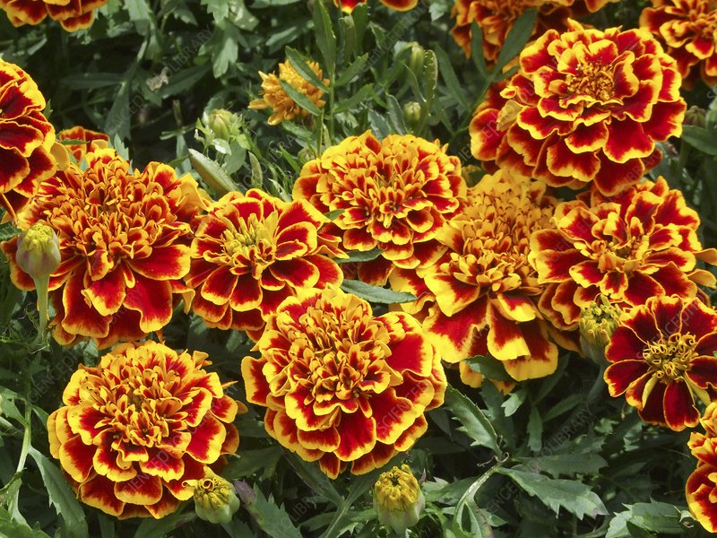 French marigold 'Colossus' (Tagetes)
