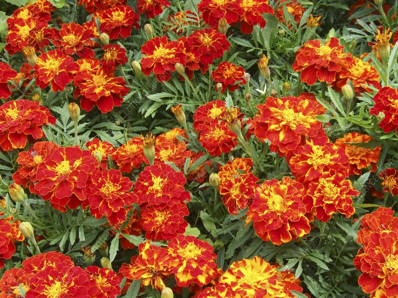 French marigold 'Red Brocade' (Tagetes)