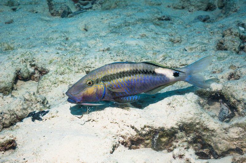 Dash-and-dot goatfish