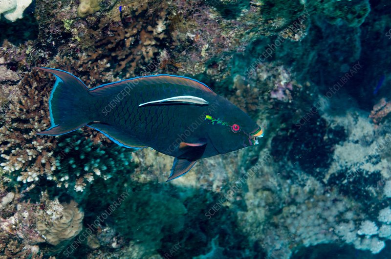 Swarthy parrotfish with cleaner wrasse