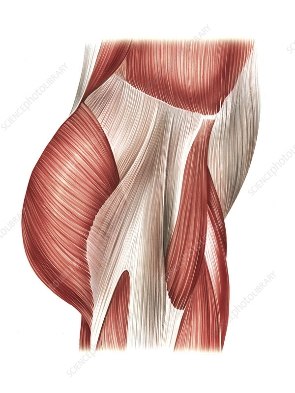 Buttock muscles, artwork