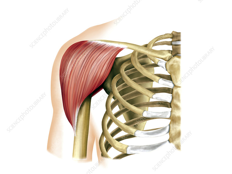 Shoulder muscles, artwork