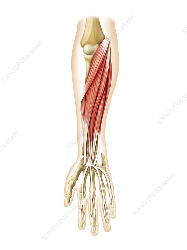 Muscles of forearm, artwork