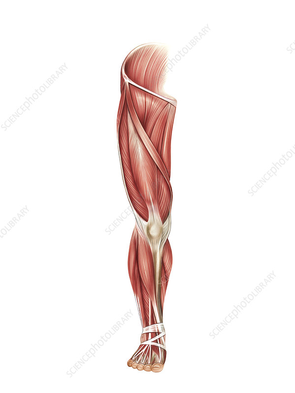 Muscles of the leg, artwork