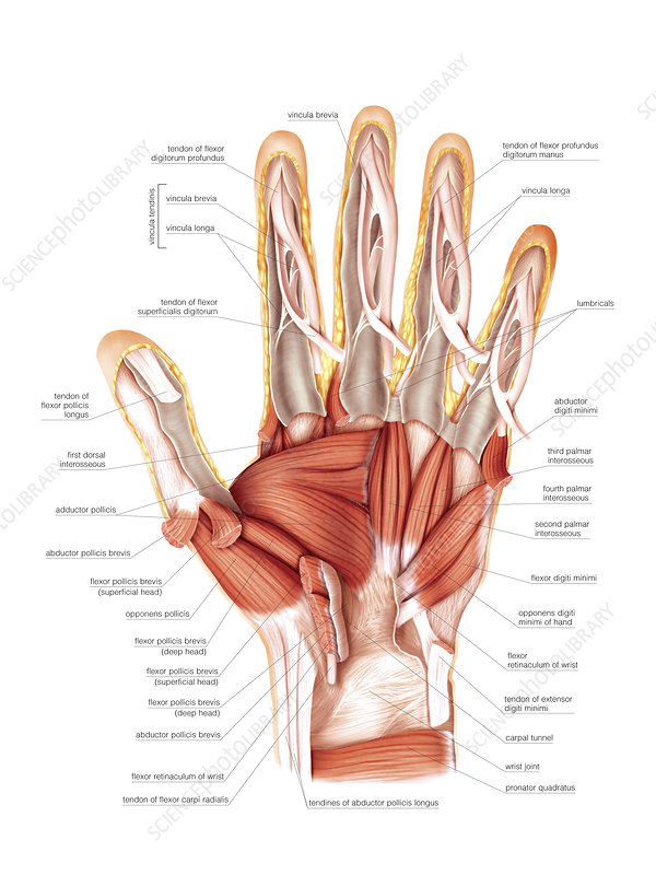 Muscles of the hand, artwork