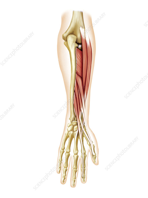 Deep muscles of forearm, artwork