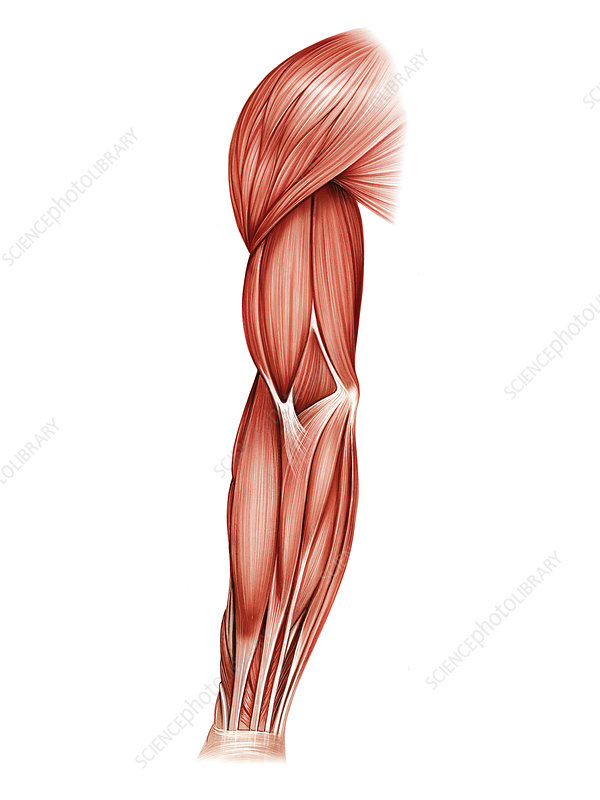 Muscles of right upper arm, artwork