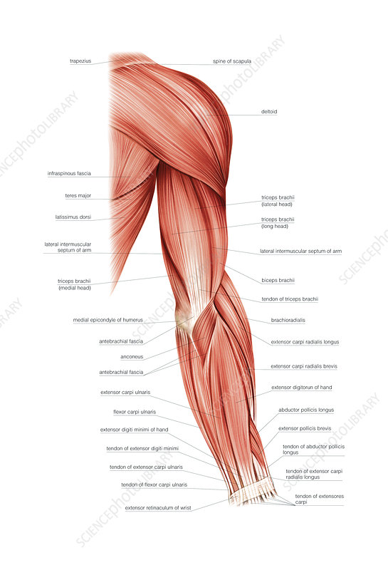 Muscles Of Right Upper Arm  Artwork - Stock Image