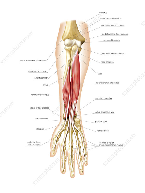 Anterior muscles of forearm, artwork
