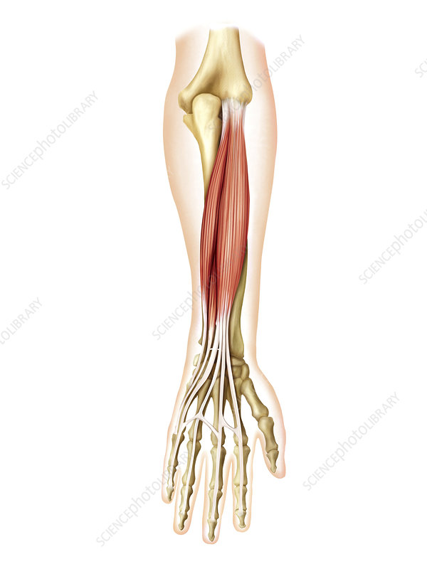 Posterior muscles of forearm, artwork