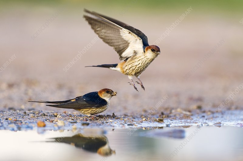 Greater striped swallows