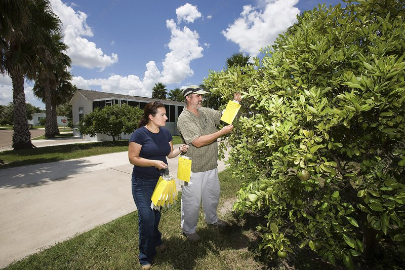 Citrus greening disease research