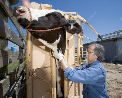 Bovine prion disease research