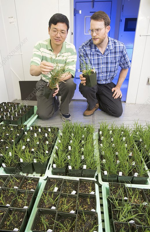 Genetically modified grass research