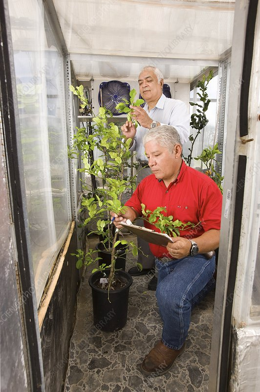 Citrus crop growth research