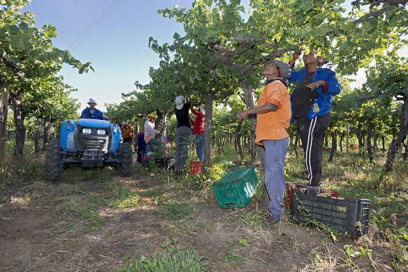 Seasonal workers harvesting grapes