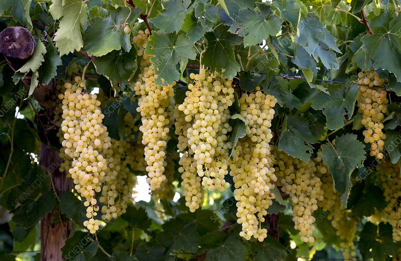 Merbein Seedless Sultana Grapes