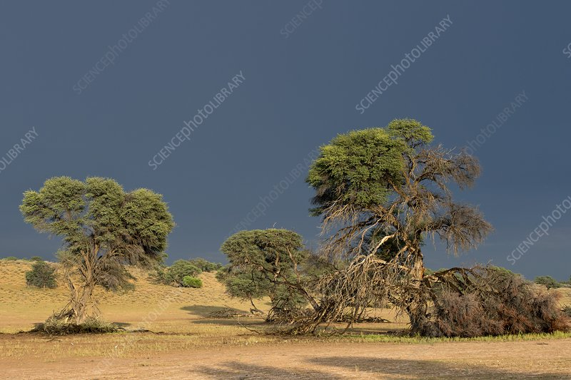 Camelthorn trees in the Auob riverbed