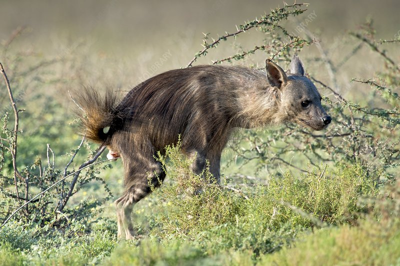 Brown Hyena scent marking its territory