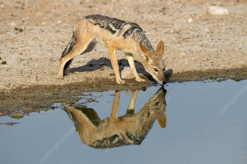 Image result for black backed jackal