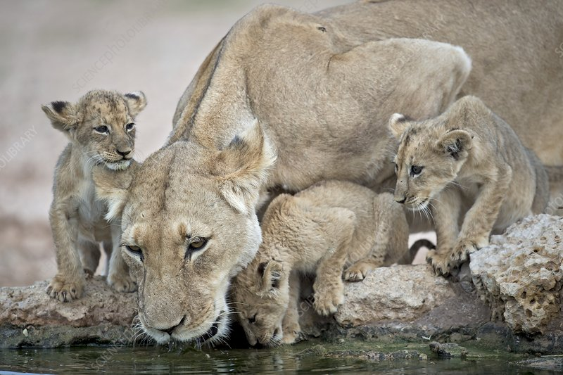 Drinking lioness with cubs